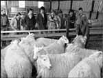 Students learning about the management of sheep in various conditions